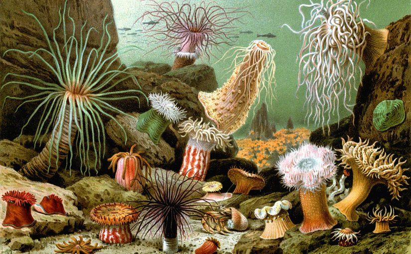 Various examples of sea anemones (1893 print) by Giacomo Merculiano (1859–1935). Source: wiki-media